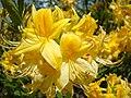 Flowers of Azalia.jpg