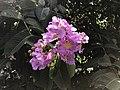 Flowers of Lagerstroemia speciosa 20170914.jpg