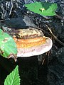 Fomitopsis pinicola 96749346.jpg