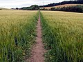 Footpath through wheatfield To Notton Village - geograph.org.uk - 493130.jpg