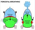 Forceful breathing.jpg
