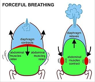 Breathing - Image: Forceful breathing