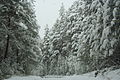 Forest near Ob river in Altai Region 35.JPG