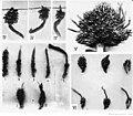 Formes spéciales des fruits de palmier à huile.jpg