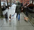 Fort Greene Brooklyn NY assorted photos near Fulton Street 2 lady walking four dogs.jpg