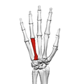 Fourth metacarpal bone (left hand) 02 dorsal view.png