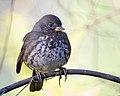 Fox Sparrow (Sooty) (39239076164).jpg