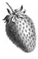 Fraise Lucie Vilmorin-Andrieux 1883.png
