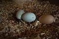 Fresh Eggs (6434928795).jpg