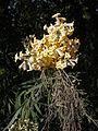 Freylinia lanceolata 2c.JPG