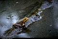 Frog (7426881898).jpg