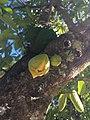 Fruit et fleurs de corossol.jpg