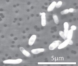 Halomonadaceae - GFAJ-1 grown on phosphorus.