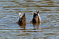 Gadwall (Anas strepera) female and male dabbling.jpg