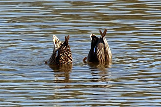 Gadwall - Female and male dabbling, WWT London Wetland Centre, Barnes