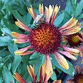 Gaillardia 'Arizona Red Shades' IMG 7100.jpg