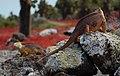 Galápagos land iguanas headbobbing (4202549632).jpg