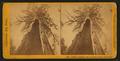 Galen's Hospice, Mariposa Grove, Mariposa County, Cal, by John P. Soule 2.png