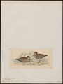 Gallinago australis - 1820-1860 - Print - Iconographia Zoologica - Special Collections University of Amsterdam - UBA01 IZ17400301.tif