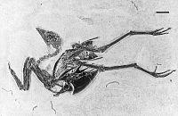 Gallinuloides wyomingensis.jpg