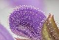Gallocresta (Salvia pratensis), Hartelholz, Múnich, Alemania, 2020-06-20, DD 38-61 FS.jpg