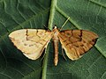 Gandaritis pyraliata - Barred straw - Ларенция светло-жёлтая (40951157991).jpg