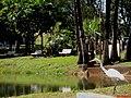 Garça Branca Grande(Casmerodius albus) no Parque do Lagoa em Altinópolis - panoramio (2).jpg