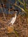 Garcilla Bueyera- Bubulcus ibis (3997544517).jpg
