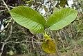 Gardenia gummifera 15.JPG