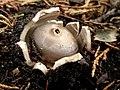 Geastrum coronatum Pers 711778.jpg