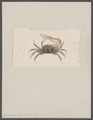 Gelasimus duperreyi - - Print - Iconographia Zoologica - Special Collections University of Amsterdam - UBAINV0274 094 02 0004.tif