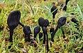 Gemeine Haarzunge Trichoglossum hirsutum.JPG