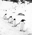 Gentoo Penguins in Antarctica.jpg
