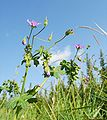 Geranium pyrenaicum 130907.jpg