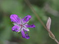 Geranium sp. ? (Storchenschnabel) (7116246955).jpg