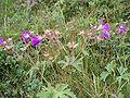 Geranium sylvaticum - Iceland - 2007-07-07c (Wald-Storchenschnabel).JPG