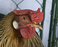 German Leghorn Cream Legbar Hen.jpg