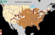 American gizzard shad - Wikipedia