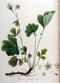 Geum rivale — Flora Batava — Volume v9.jpg