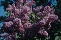 Gewöhnlicher Flieder (Syringa vulgaris).jpg