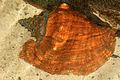 Gfp-queen-conch.jpg