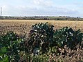 Giant cabbages and maize field - geograph.org.uk - 1551582.jpg