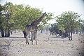 Giraff-5739 - Flickr - Ragnhild & Neil Crawford.jpg