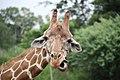 Giraffe (4753122493).jpg