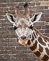Giraffe (4872417538).jpg