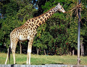 The giraffe (Giraffa camelopardalis) is an Afr...