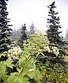 Glacier flora10.jpg