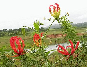 Ruhmeskrone (Gloriosa superba)
