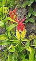 Gloriosa superba (yellow red).jpg