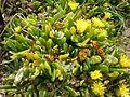 Glottiphyllum longum 2c.JPG